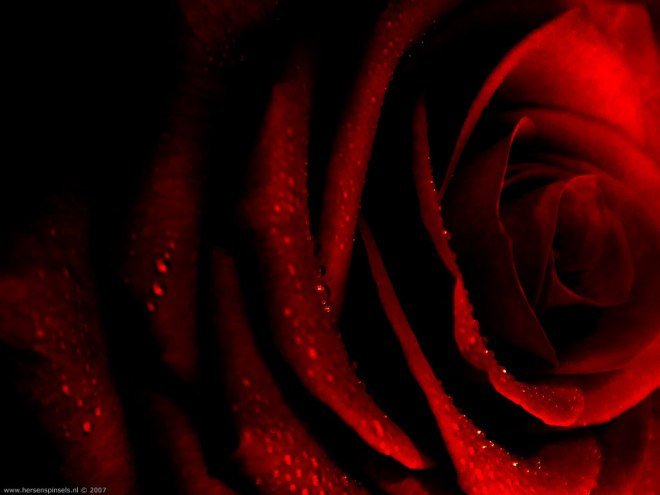 blood red rose dark rose